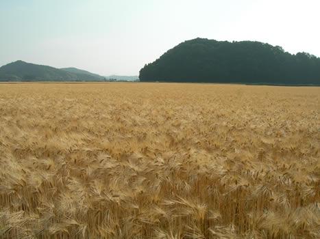 六条大麦、麦秋(ばくしゅう)の楽しみ方画像2