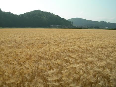 六条大麦、麦秋(ばくしゅう)の楽しみ方画像1