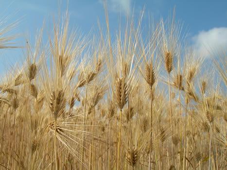 六条大麦、麦秋(ばくしゅう)の楽しみ方画像3